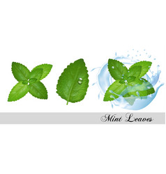 collection fresh mint and melissa leaves and vector image