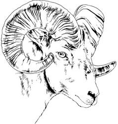 mountain sheep with horns vector image