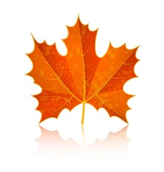 Autumn dry maple leaf vector image vector image