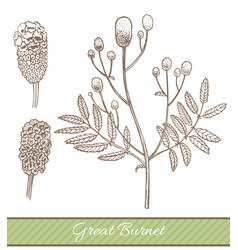 great burnet in hand drawn style vector image vector image
