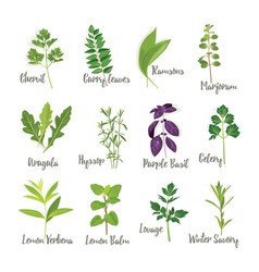 Set of herbs isolated vector