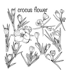 set crocus spring flowers black and white vector image