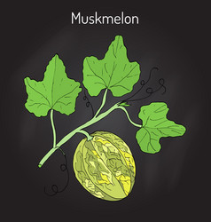 Muskmelon or cucumis melo vector