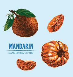 Digital detailed color orange mandarin vector