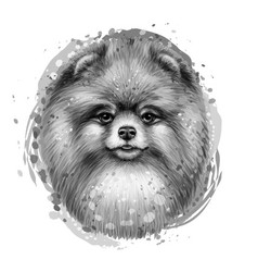 monochrome portrait a cute pomeranian spitz vector image
