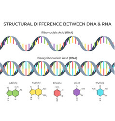 infographic dna and rna spiral ribonucleic vs vector image