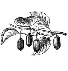 plant actinidia vector image