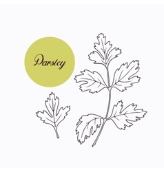 Hand drawn parsley branch with leves isolated on vector image vector image
