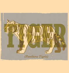 hand drawing style of vintage tiger poster vector image