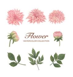 Chrysanthemum watercolor design bloom flower on vector