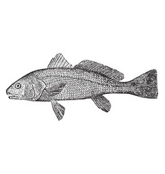Redfish vintage vector