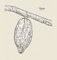 Cocoa beans hand draw sketch vector