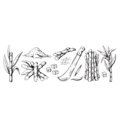 hand drawn sugar cane sketch leaves and canes vector image