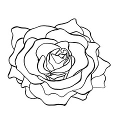 Rose flower bud in outlines blossoming single vector