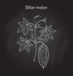 Bitter melon or balsam-pear momordica charantia vector