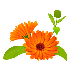 Calendula flowers with leaves isolated on white vector