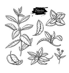 Stevia drawing herbal sketch of sweetener vector