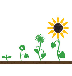 sunflower plant growth stages vector image
