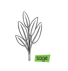 sage hand drawn vector image