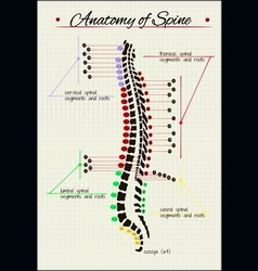 Spinal cord anatomy vector