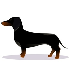 Black dachshund vector image