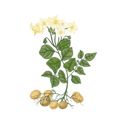 elegant natural drawing potato plant with vector image
