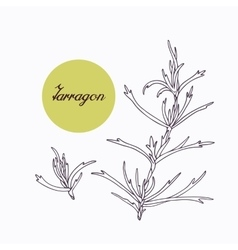 Hand drawn tarragon branch with leves isolated on vector image