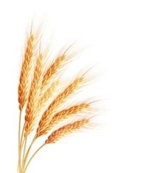 Spikelets and grains of wheat EPS 10 vector