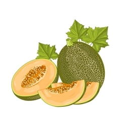 Melon fruit on white background vector image vector image