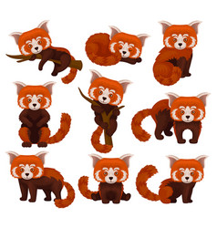 Chinese red panda set cute fluffy wild animals in vector