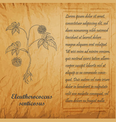 Vintage banner with bush of siberian ginseng vector