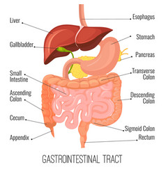 gastrointestinal tract human intestine and vector image