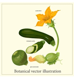 Botanical of zucchini vector image
