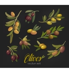 Set of olive branches or tree twigs berries vector image