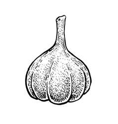Black and white hand drawn sketch of a garlic vector image