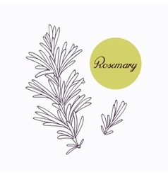 Hand drawn rosemary branch with leves isolated on vector
