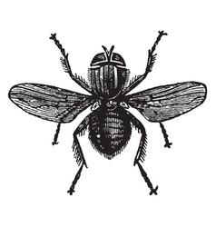 Lucilia hominivorax vintage vector