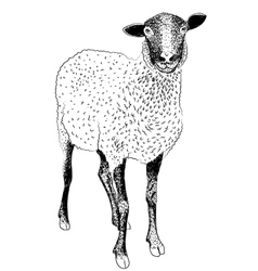 Farm sheep vector