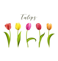 set of five different color tulips isolated vector image