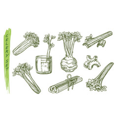 sketch celery vegetable celeriac plant vector image