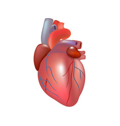 Realistic human heart isolated on white background vector