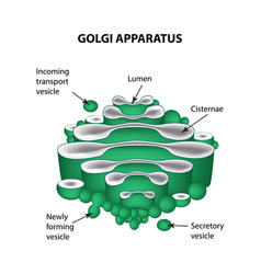 The structure golgi apparatus infographics vector