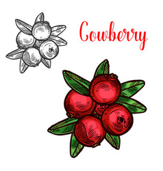 Cowberry sketch fruit berry icon vector