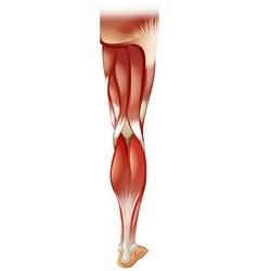 Leg muscle vector