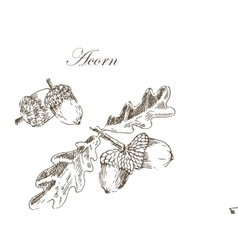 Ink sketch drawing of autumn acorns and vector