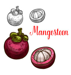mangosteen sketch fruit cut icon vector image