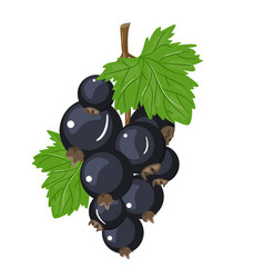 black currant colorful vector image