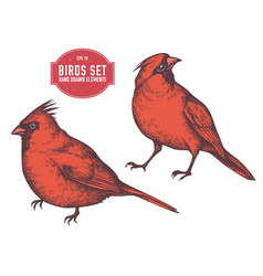 Collection of hand drawn colored cardinal vector