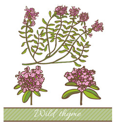 colored wild thyme in hand drawn style vector image