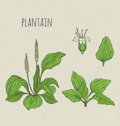 Plantain medical botanical isolated vector
